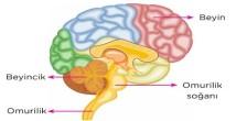 Merkezi Sinir Sistemi 6. Sınıf