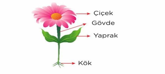 Bitkiler, Bitki Çeşitleri Bitkilerin Bölümleri 5. Sınıf