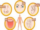 Duyu Organları 6. Sınıf