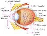 Göz Nedir? Yapısı Özellikleri 6. Sınıf