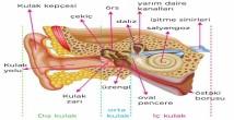 Kulak Nedir? Yapısı ve Bölümleri 6. Sınıf
