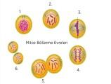 Mitoz Bölünme Evreleri Nelerdir 7. Sınıf