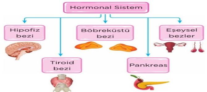 Hormonal Sistem (İç Salgı Bezleri) 6. Sınıf