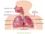 Solunum Sistemi 6. Sınıf