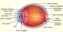 Gözün Yapısı, Tabakaları ve Kusurları 11.Sınıf Biyoloji