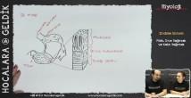 Mide, İnce Bağırsak ve Kalın Bağırsak konu anlatımı video 11. sınıf biyoloji
