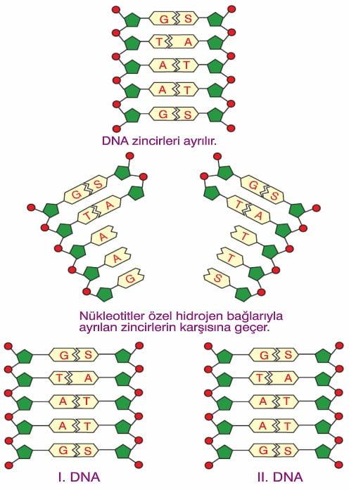Dna Eşlenmesi Replikasyon konu anlatımı 9.sınıf biyoloji