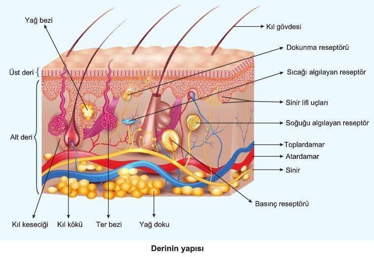 7220bc17bc8d9 Alt deri epidermisin altındaki kalın bağ dokusu tabakasıdır. Bu kısımda kan  damarları ve sinirler yer alır. Alt deride ayrıca elastik ve kollajen  lifler, ...